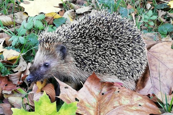 Igel zur Winterpause